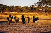 Elephants ( Loxodonta africana ) walking to the waterhole at sunset
