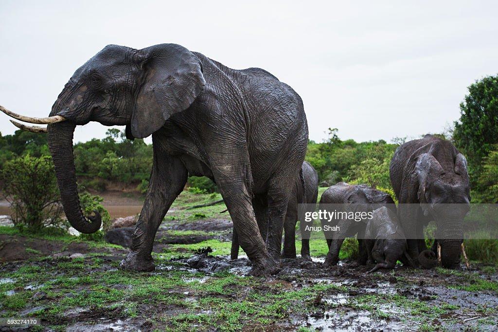 Elephants wallowing in mud