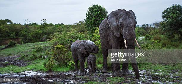 Elephants wallowing in mud