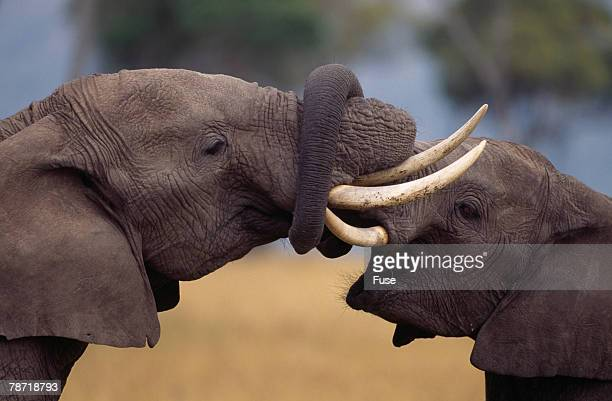 Elephants with Trunks Entwined
