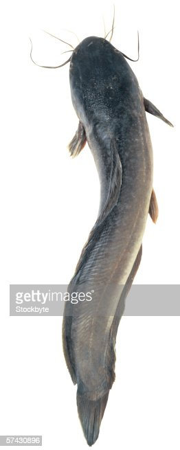 Elevated view of a cat fish : Stock Photo