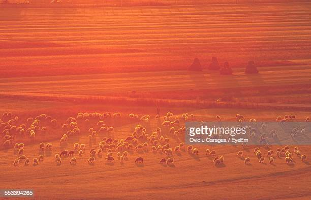Elevated View Of Sheep Grazing In Pasture