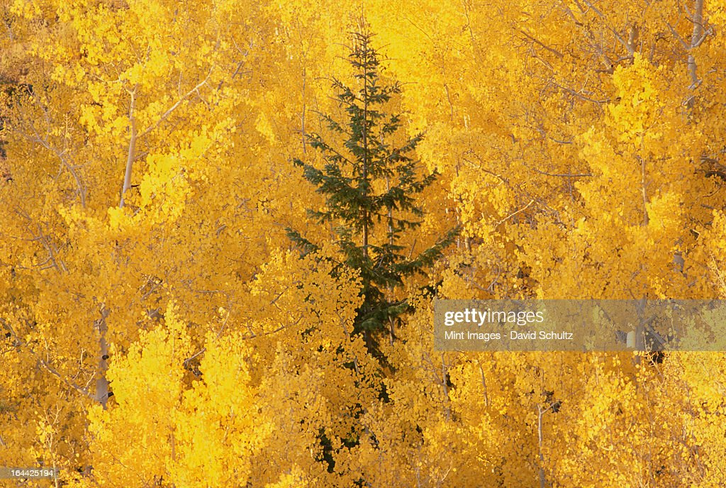 Elevated view over the tops of the aspen trees in the Dixie National Forest in autumn. : Stock Photo