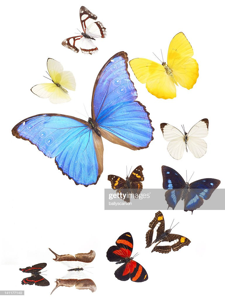 Eleven different butterflies (lepidoptera)