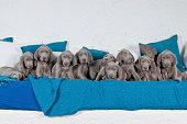 11 Weimaraner Welpen (ca. 6 Wochen) auf blau-weißen Sofa, in die Kamera blickend