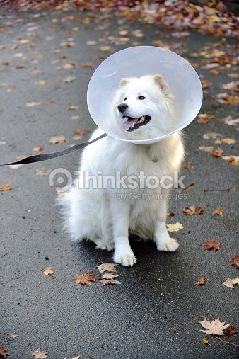 Elizabethan collar or pet lampshade worn by a samoyed dog stock elizabethan collar or pet lamp shade worn by a samoyed dog stock photo aloadofball Gallery