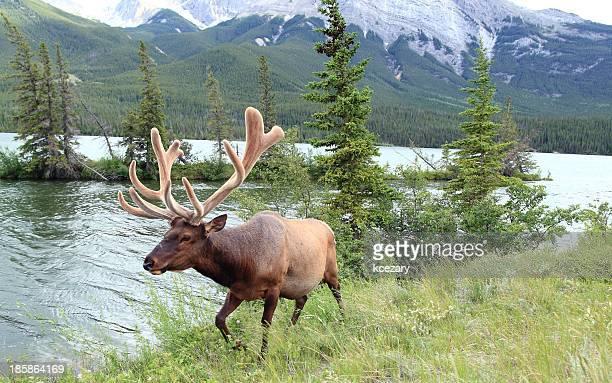 Elk Attack!