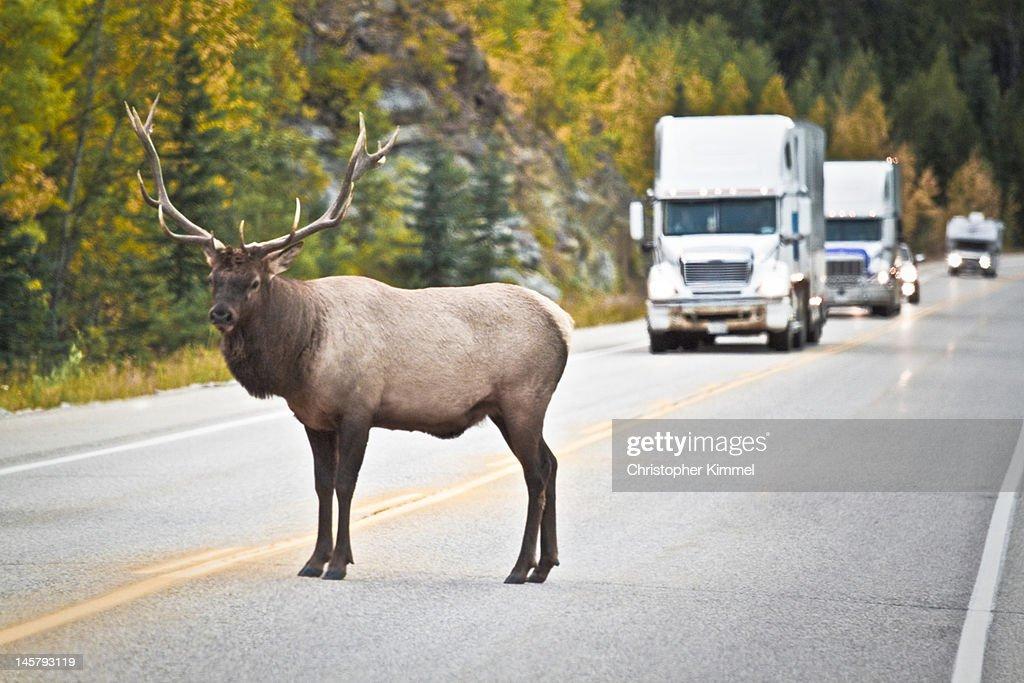Elk blocks traffic : Stock Photo