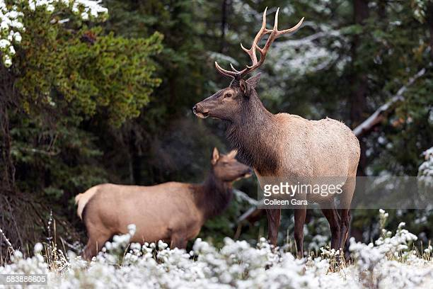 Elk bull and cow in snow