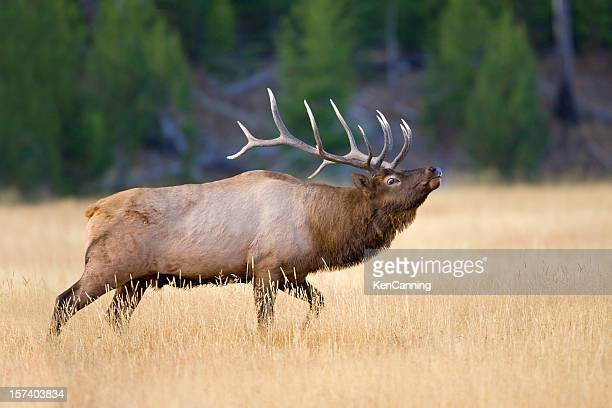 Elk Bull During Autumn Rut