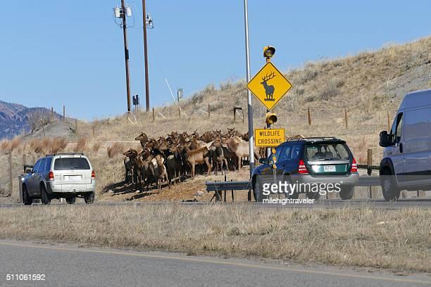 Elch Herde hat durch den Verkehr in Golden Colorado-Kreuzung