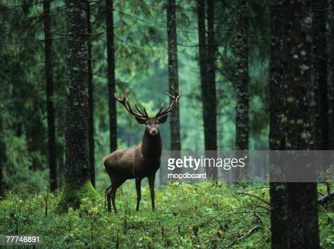 Elk in Forest : Stock Photo