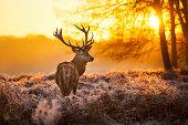 Elk in sunshine