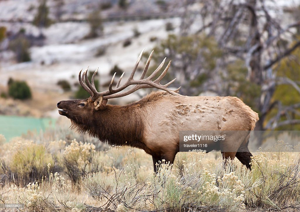 Elk In Yellowstone : Stock Photo