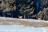 Small herd of Rocky Mountain Elk on a ridge high in the Colorado Rockies at the edge of the winter wilderness