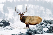 """""""On a cold winter morning, a bull elk poses for his portrait in Yellowstone.."""""""