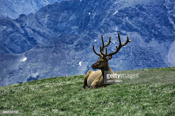 Elk resting on mountain top in Rock Mountain National Park