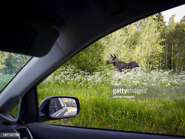 Elk seen from car
