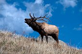 Elk calling requires an understanding of what elk talk means and when it is used