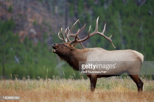 Elk, Wapiti (Cervus elaphus), bull calling, bugling, Yellowstone National Park, Wyoming, USA