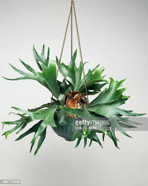 Elkhorn fern or Staghorn fern Polypodiaceae