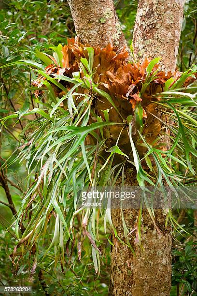 Elkhorn fern Platycerium bifurcatum a bracket epiphyte that occurs near and in rainforest Kooralbyn Creek Wollumbin National Park New South Wales...