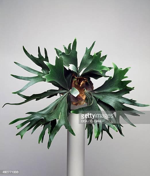 Elkhorn fern Polypodiaceae