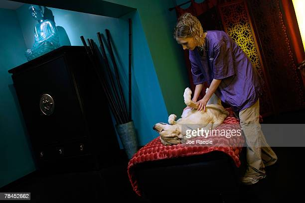 Ellen Schreffler massages Taiter at the Chateau Poochie the luxury hotel for dogs and cats December 13 2007 in Pompano Beach Florida Amenities at the...