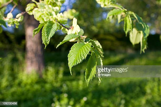 Elm tree in spring