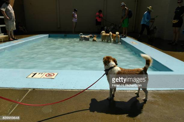 DENVER CO AUGUST Elsa a Jack Russell mix was happy to stay out of the water while she looks at other dogs in the kiddie pool at Berkeley Pool on...