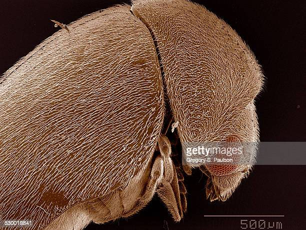 Elytra of Anobiidae beetle SEM