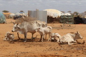 Emaciated cattle stand in the outskirts of the Dagahaley refugee camp which makes up part of the giant Dadaab refugee settlement on July 23 2011 in...