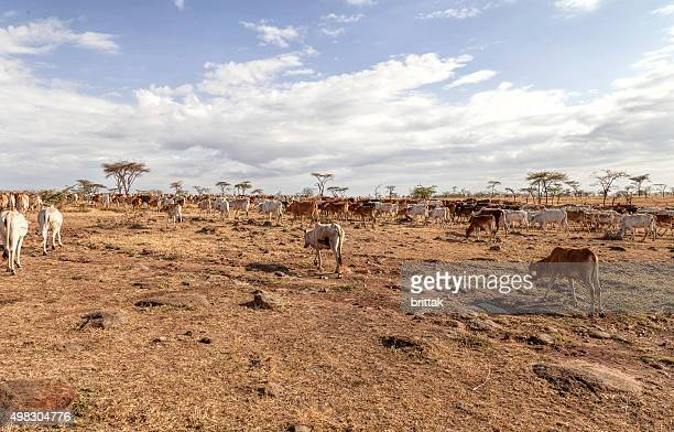 Emanciated masai cattle in search of wate and food.