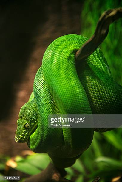 Emeral Tree Boa on branch