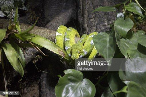 Emerald tree boa : Stock Photo