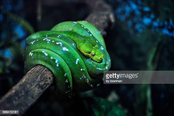 Emerald Tree Boa