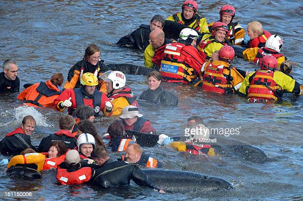 Emergency services attempt to rescue a large number of pilot whales who have beached on September 2 2012 in Pittenweem near St Andrews Scotland A...