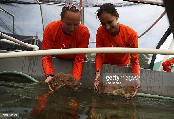 Emilee Golden and Ana Palacio from the University of Miami Rosenstiel School of Marine and Atmospheric Science place pieces of Orbicella Faveolata...