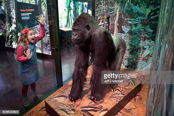 Emily Mann views a Gorilla during a press preview for a new taxidermy exhibition on December 8 2016 in Edinburgh Scotland More than sixty taxidermy...