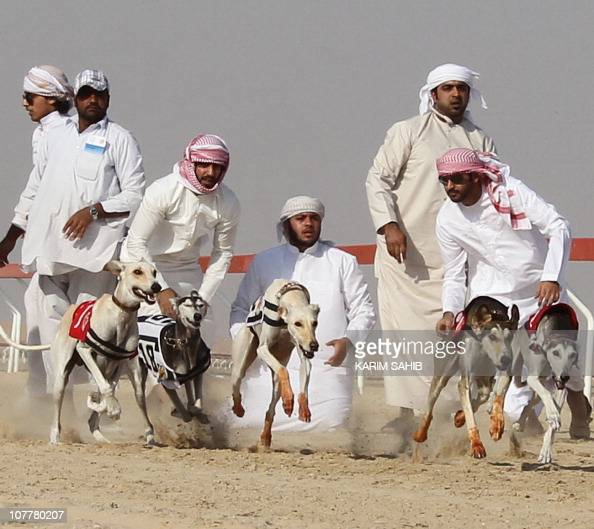 Emirati breeders release their Saluki dogs during the first Arab Heritage Saluki Race Festival in Zayed City in the United Arab Emirates' western...