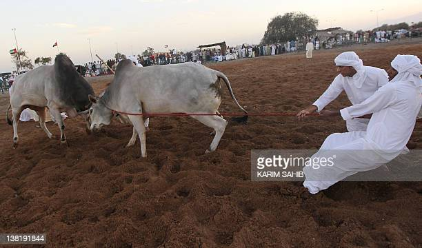 Emirati trainers pull a bull with a rope during a traditional bullfight in alQurayah north of the Gulf emirate of AlFujairah in the United Arab...