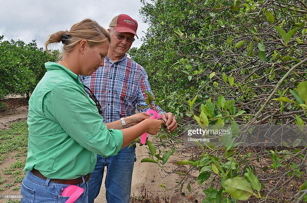 Emma Reynolds, left, and her uncle Charles Reynolds, principals at Reynolds Farm, tag a Valencia orange tree infected with bacteria from the Asian Citrus Psyllid insect at the family groves in Lake Placid, Florida, U.S., on Thursday, May 2, 2013. The U.S. Department of Agriculture probably will lower its estimate for Florida's orange output as unusually dry weather compounds damage from citrus greening, a crop disease that cuts yields. Photographer: Mark Elias/Bloomberg via Getty Images