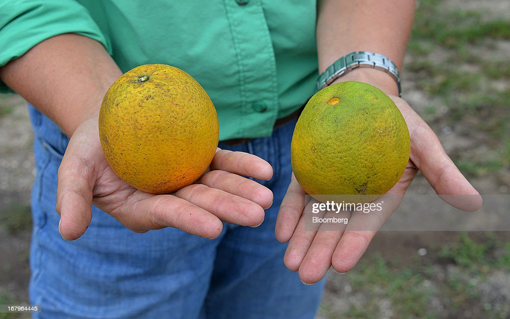 Emma Reynolds, principal at the Reynolds Farm, displays a healthy Valencia orange, left, next to a diseased one at the family groves in Lake Placid, Florida, U.S., on Thursday, May 2, 2013. The U.S. Department of Agriculture probably will lower its estimate for Florida's orange output as unusually dry weather compounds damage from citrus greening, a crop disease that cuts yields. Photographer: Mark Elias/Bloomberg via Getty Images