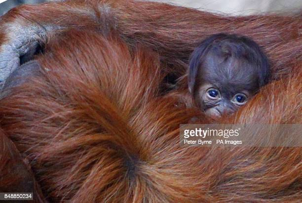 Emma the Sumatran Orangutan holds her unnamed threedayold baby at Chester Zoo