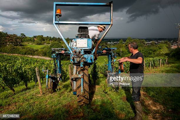 Emmanuel Giboulot an ecologist winemaker who fights against pesticides and condemned for refusing to chemically treat his vines in his vines of...