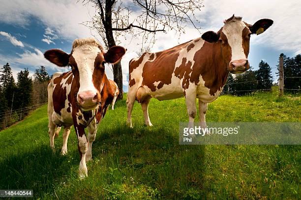 Emmentaler cows