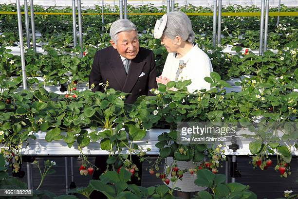 Emperor Akihito and Empress Michiko harvest strawberry at a green house on March 14 2015 in Higashimatsushima Miyagi Japan Emperor and Empress are in...