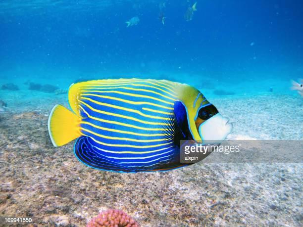 ウミウシ Angelfish