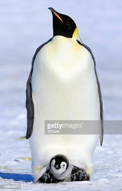 Emperor Penguin - A Proud Parent