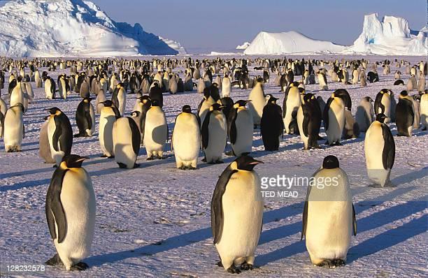 Emperor Penguin (Aptenodytes forsteri), Antarctica